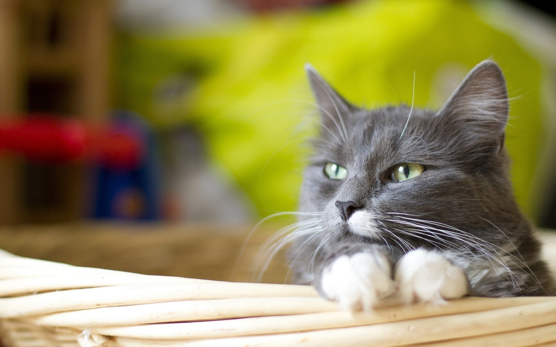 обои для рабочего стола кота русского № 610771 бесплатно