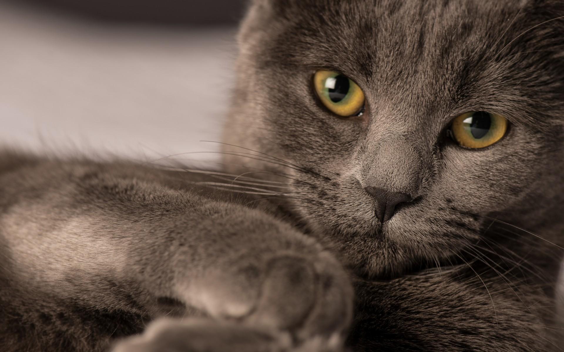 обои для рабочего стола кота русского № 610751 загрузить