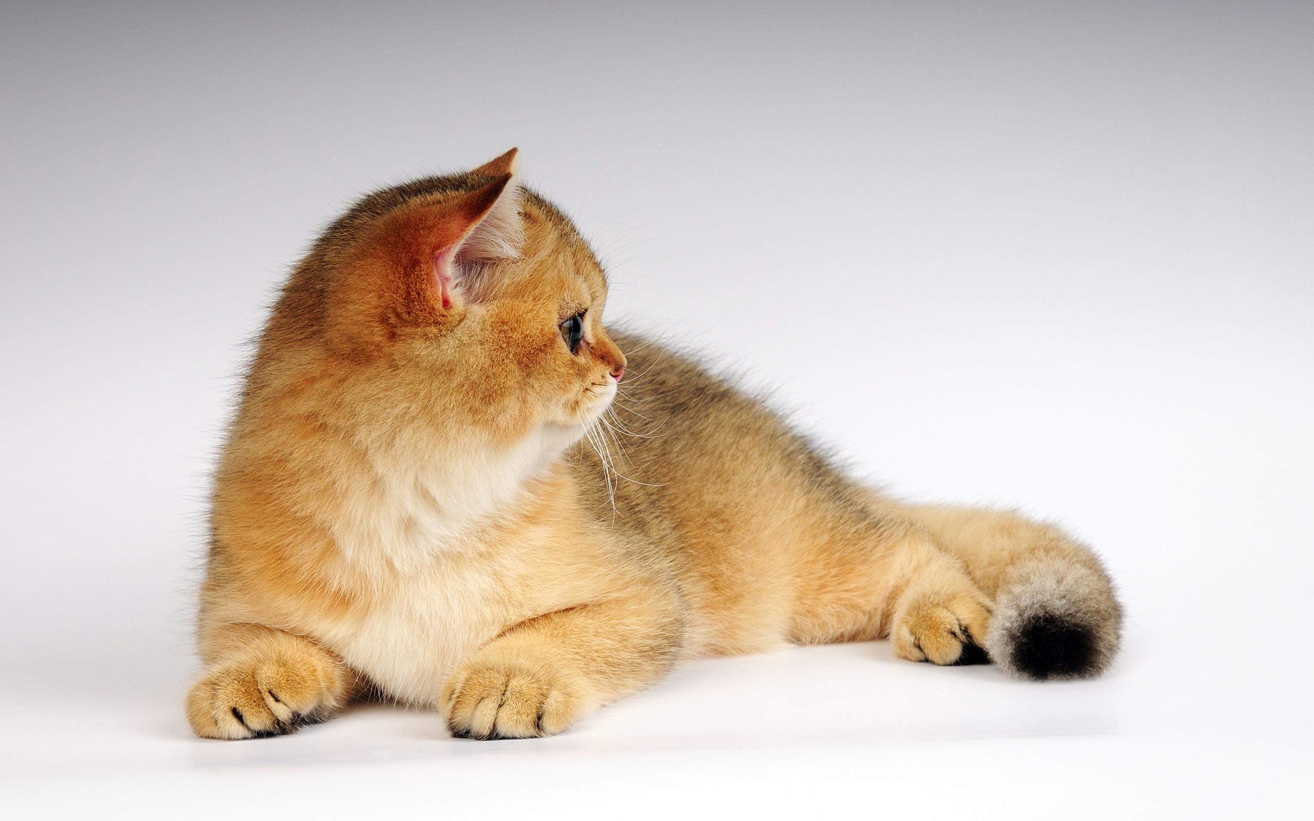 Широкие обои на рабочий стол кошки
