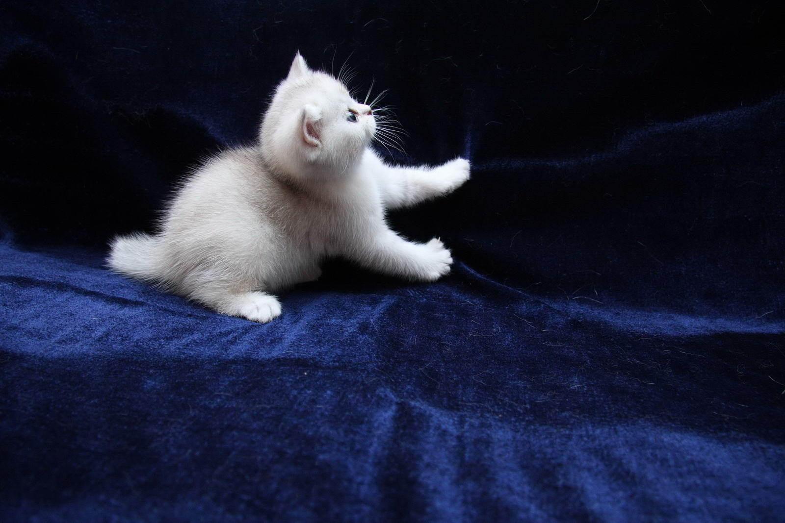 Обои на рабочий стол белый котик