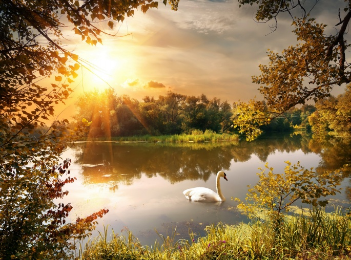 Белые и черные лебеди. White and black swans (46 обоев)