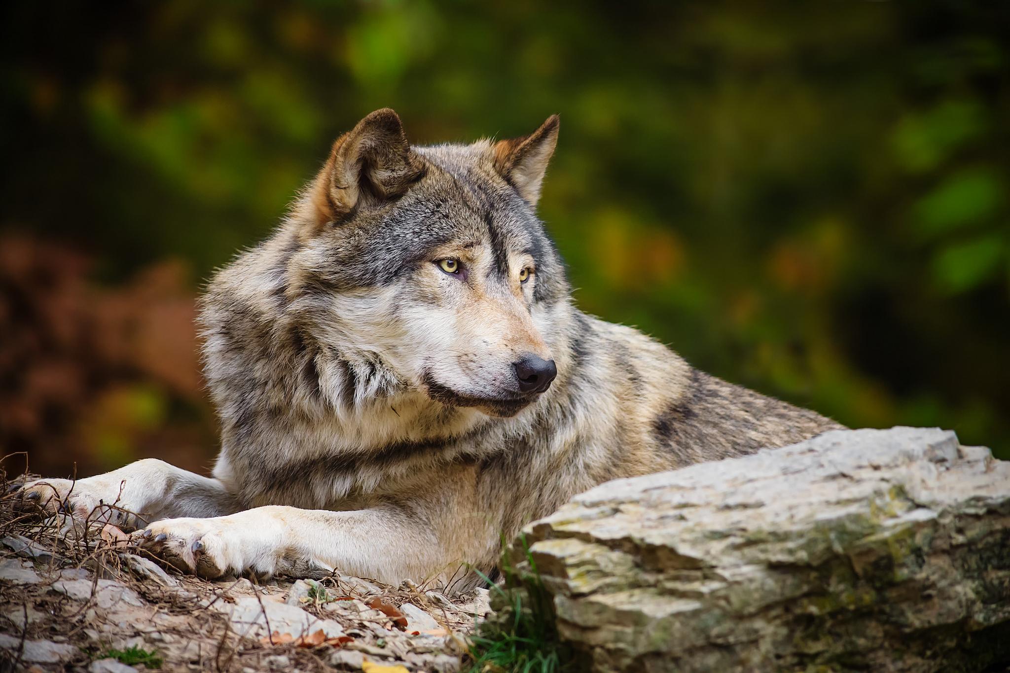 можете волки самые красивые фото волков только нас появляется