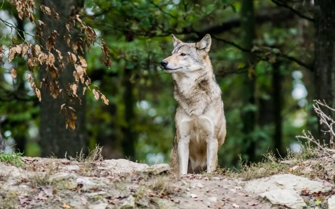 Волки. Wolves (124 обоев)