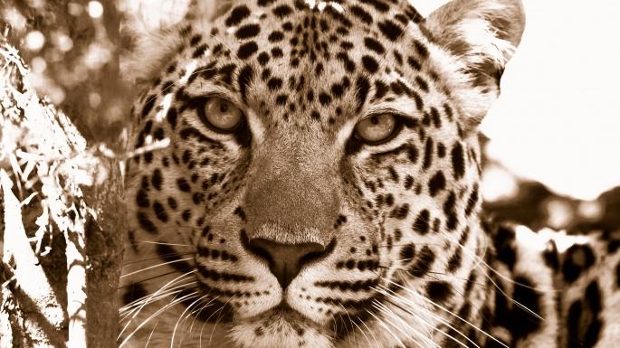 Дикие кошки. Wild cats (100 обоев)