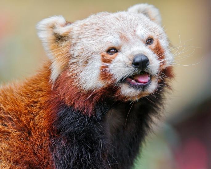 Красная и белая панда. Red and white panda (37 обоев)