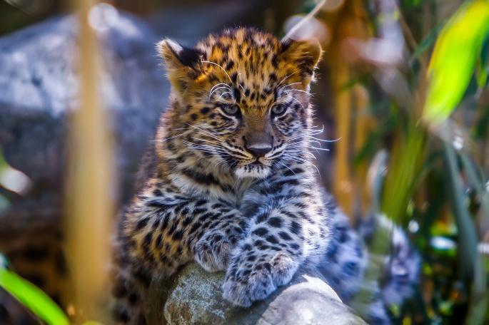 Леопарды. Leopards (92 обоев)