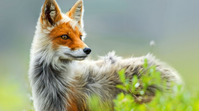 Лисица. Fox (80 обоев)