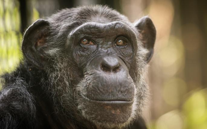 Обезьяны. Monkey (55 обоев)