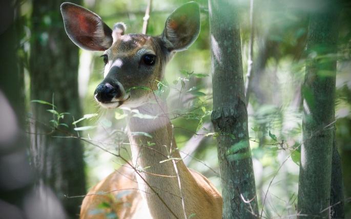 Олени. Deer (45 обоев)
