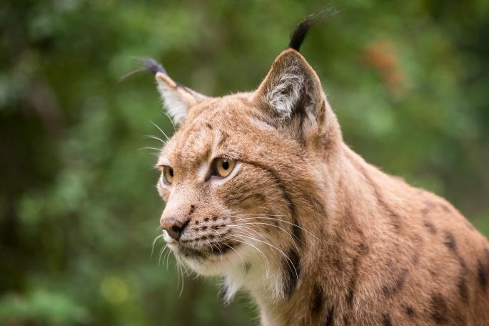 Рысь. Lynx (42 обоев)